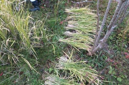 刈った稲.jpg